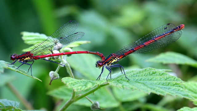 dragonflies-1431304_640